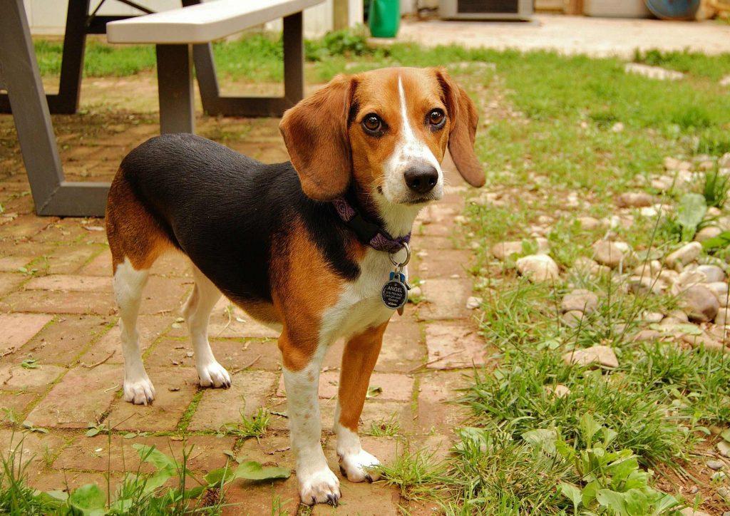 11-beagle