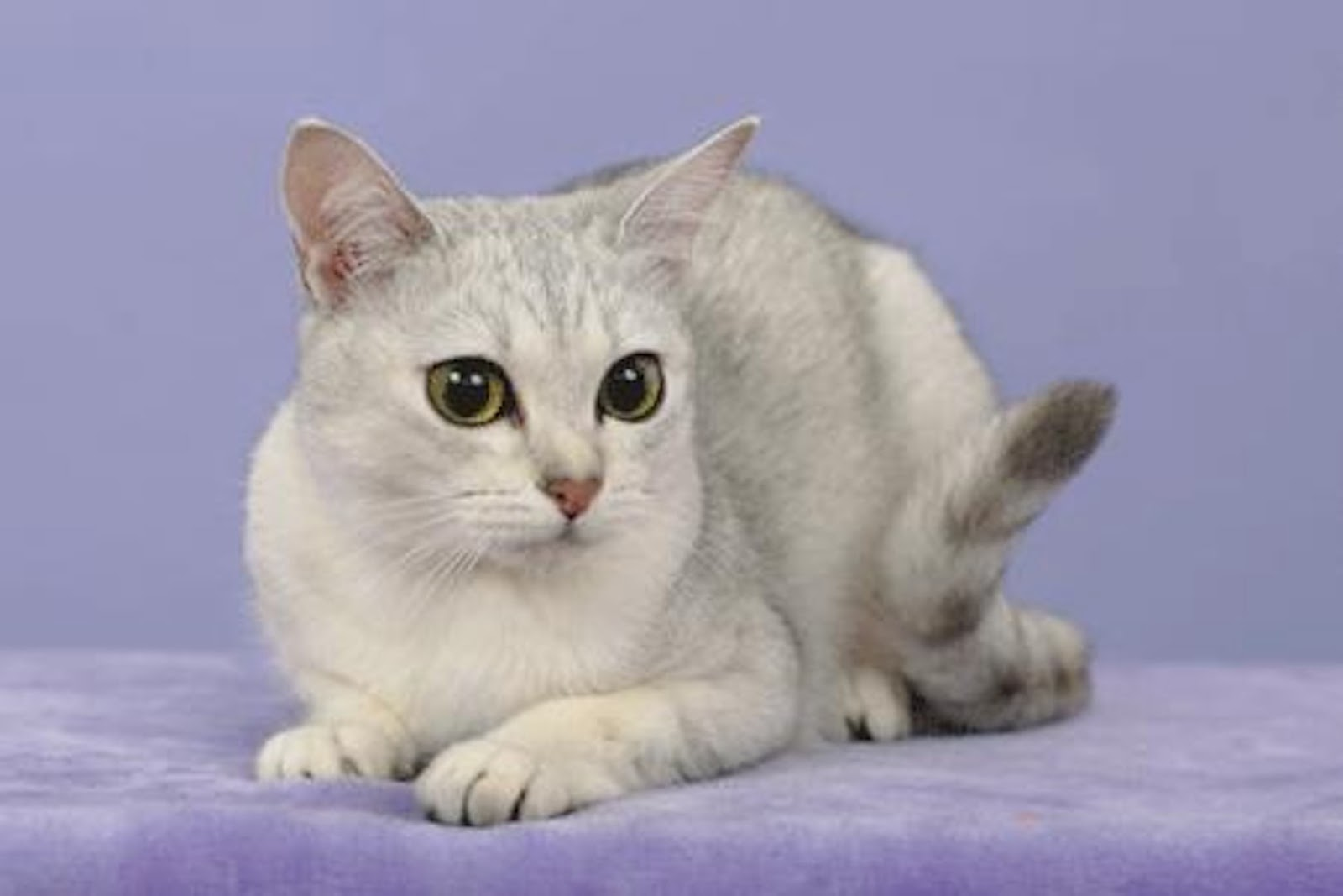 нередко, порода кошек бурмилла короткошерстная картинки очень часто подобного