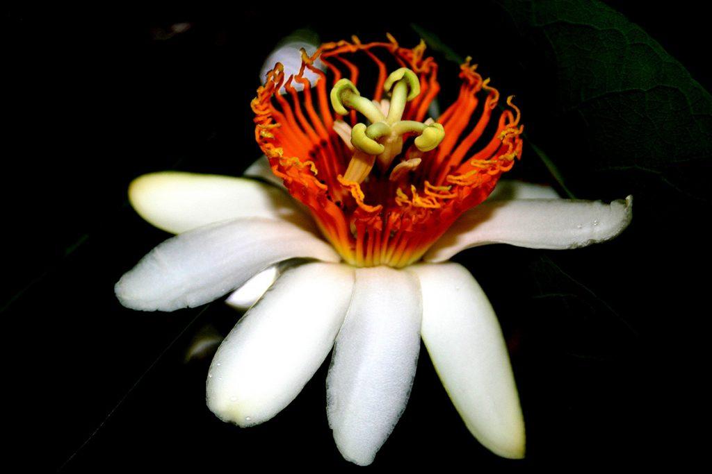 6.1_passiflora