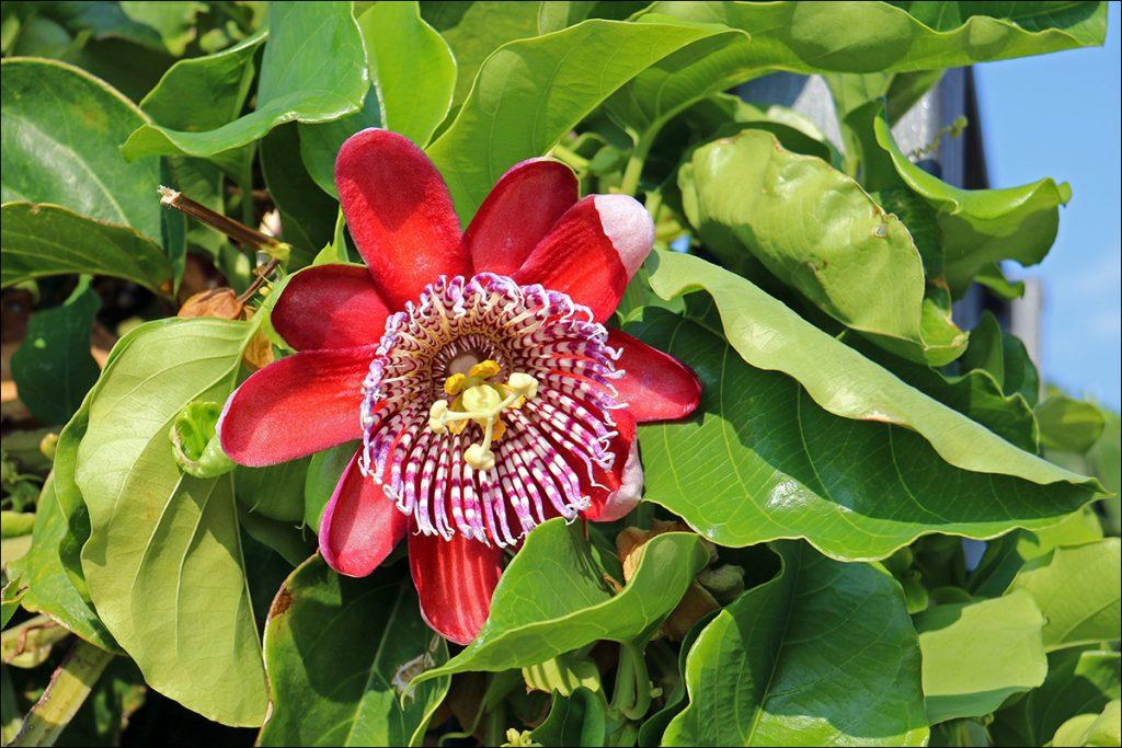 6.3_passiflora