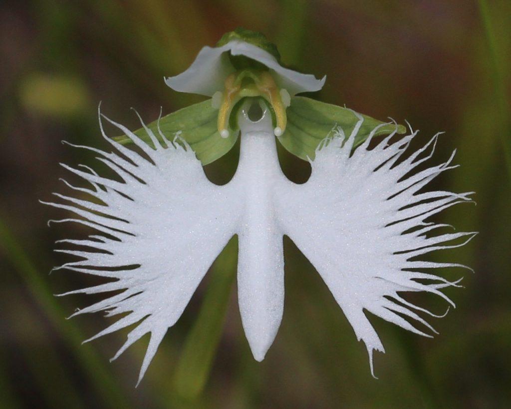9.4_orhideya-beloj-czapli