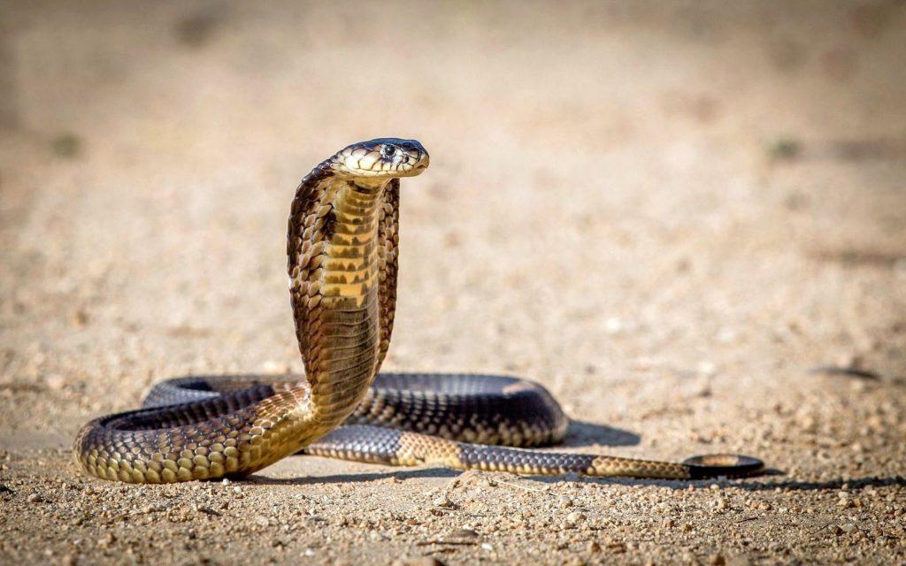 11_korolevskaya-kobra