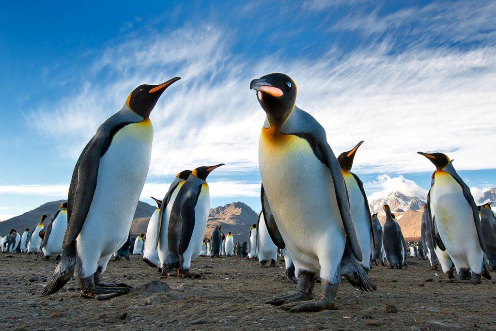 11_korolevskie-pingviny