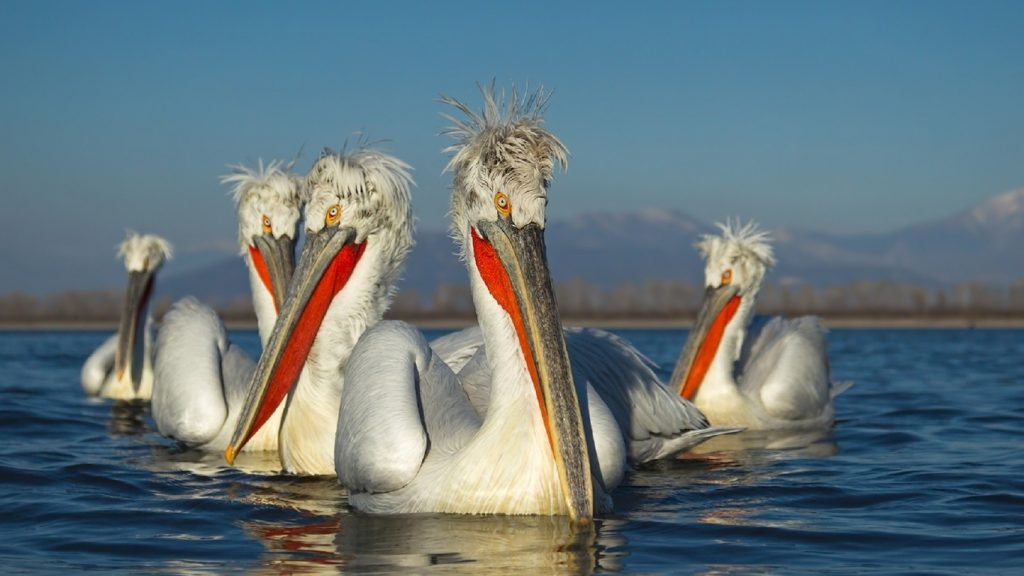 15_-kudryavyj-pelikan
