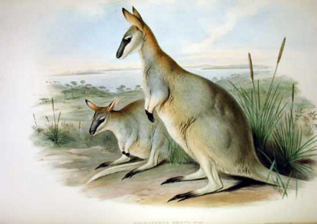 18_kenguru-greya