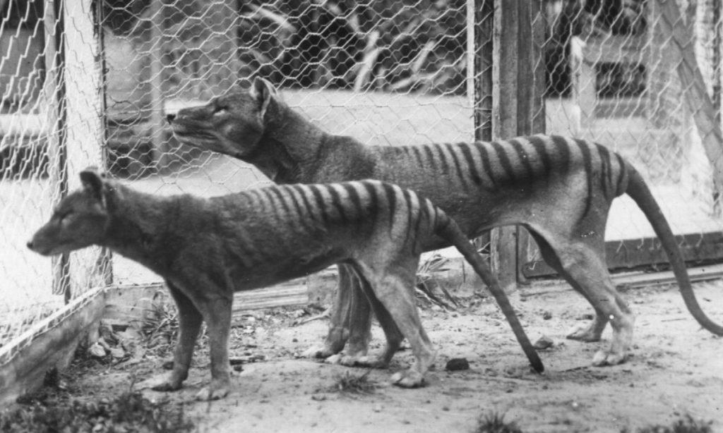 tasmanskij_tigr
