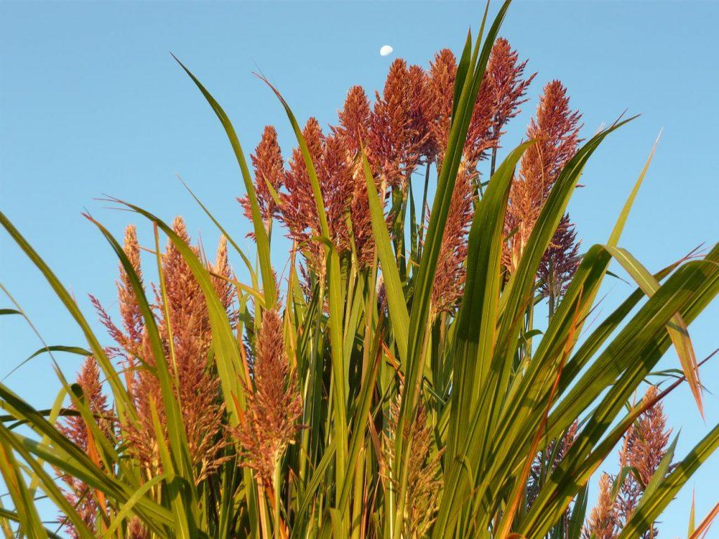 5_erianthus-ravennae