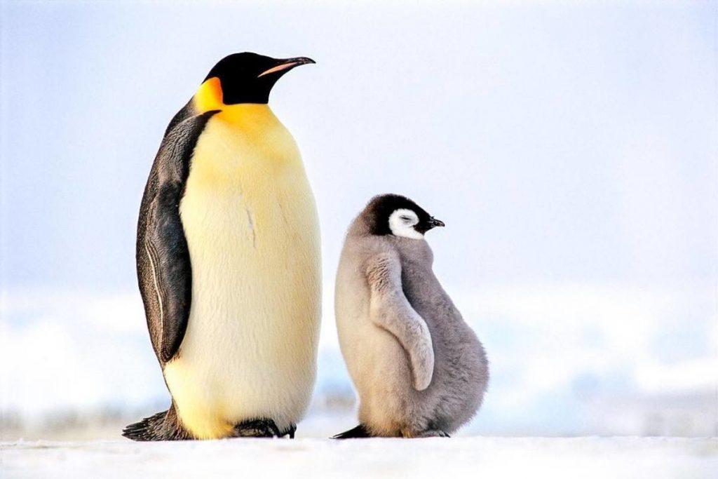 6_imperatorskij-pingvin