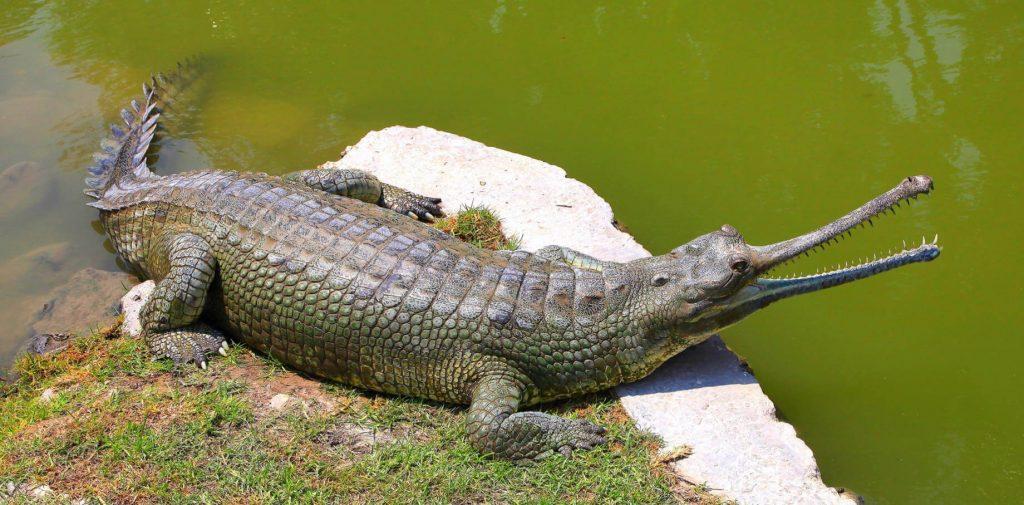 10.1_-gavial