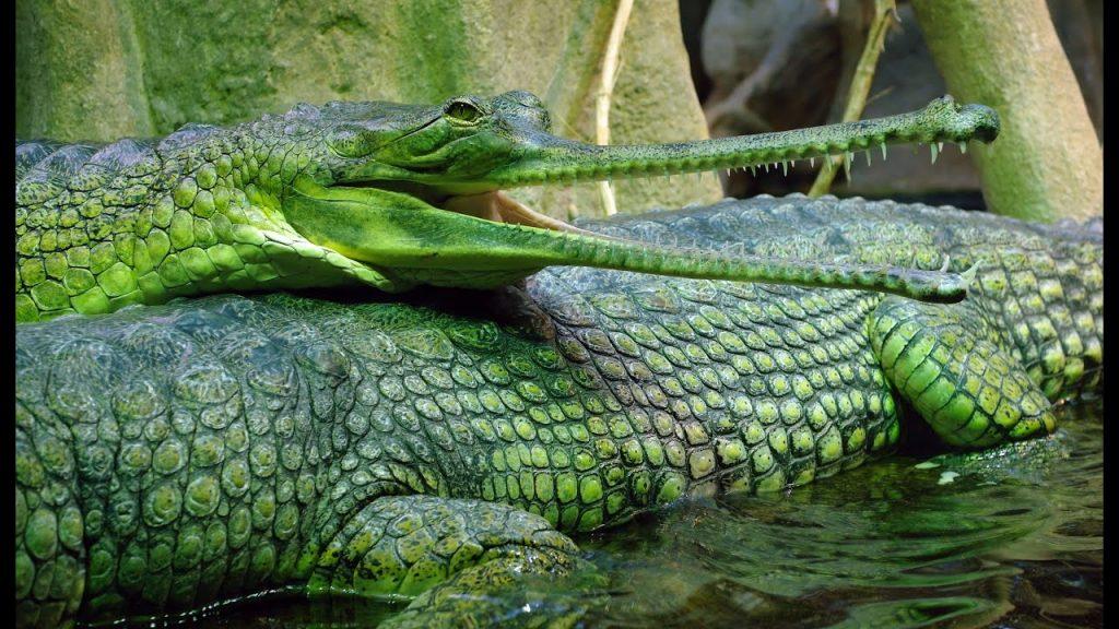 10.2_-gavial