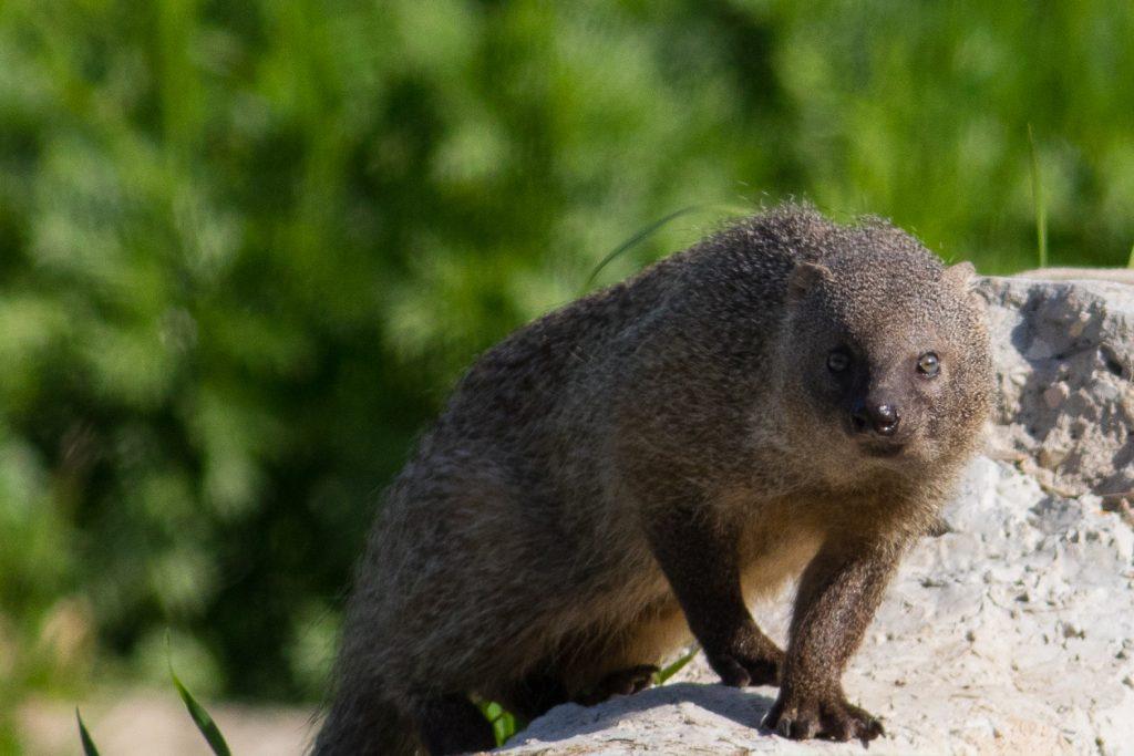 10_mangust-herpestes-ichneumon-samoe-agressivnoe-zhivotnoe-v-mire