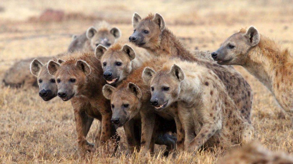 11_giena-hyaenidae-samoe-agressivnoe-zhivotnoe-v-mire