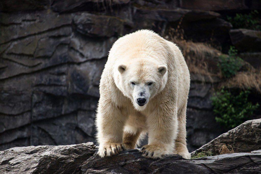 13_belyj-medved-ursus-maritimus-samoe-agressivnoe-zhivotnoe-v-mire