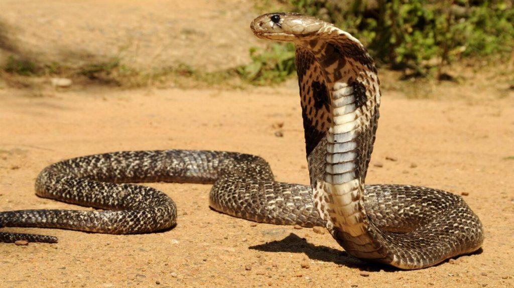 15_lesnaya-kobra