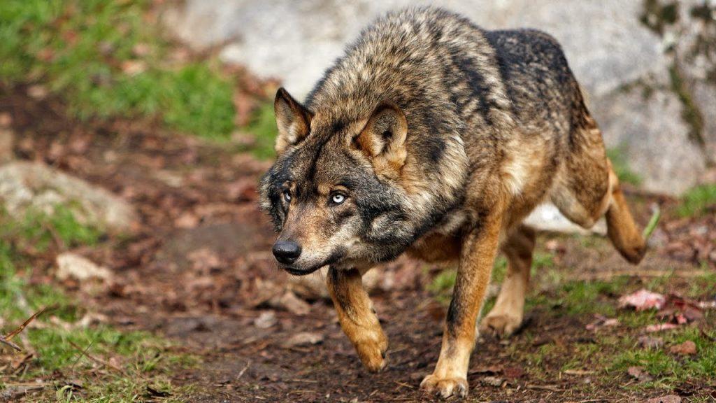 15_volk-samoe-agressivnoe-zhivotnoe-v-mire