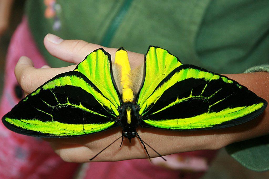 17_ornitoptera-himera