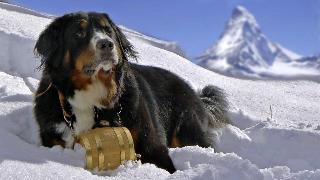 19_bernskij-zennenhund