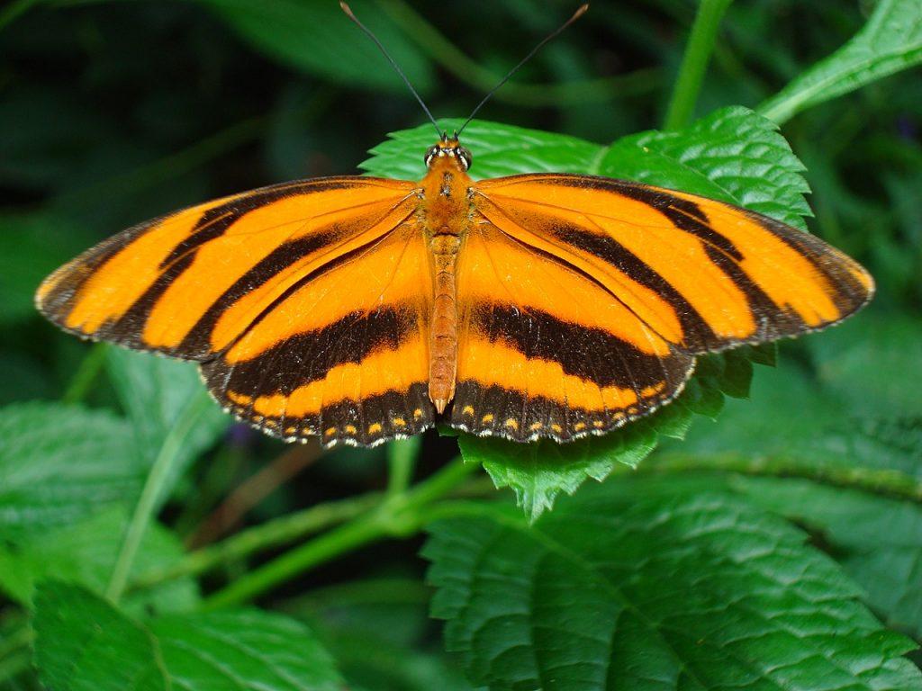 20_dryadula-phaetusa