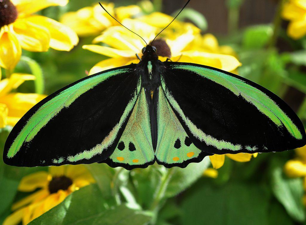 22_ornithoptera-richmondia
