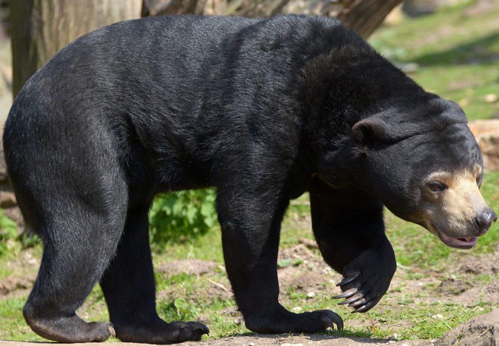 23.1_malajskij-medved