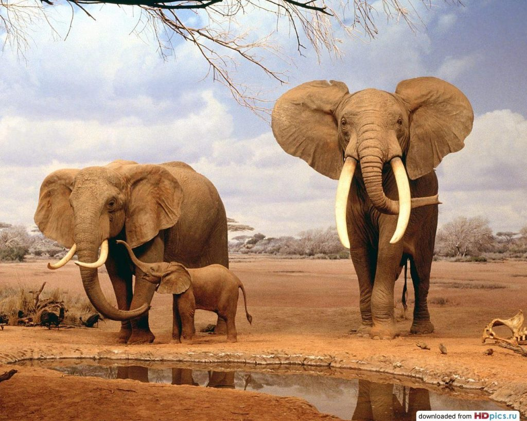 5_slon-samoe-agressivnoe-zhivotnoe-v-mire