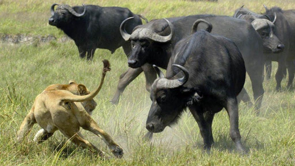 Африканский буйвол- описание и разновидности рода