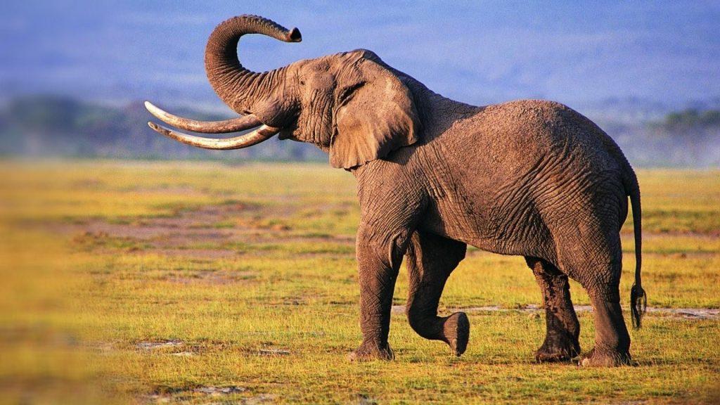 10_afrikanskij-slon