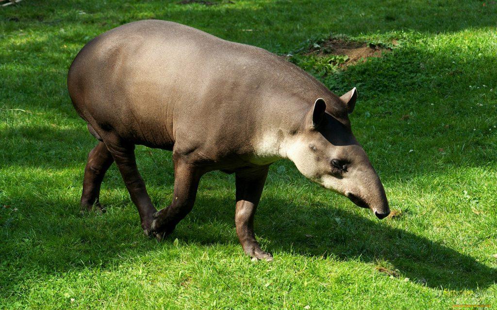 12_tapir