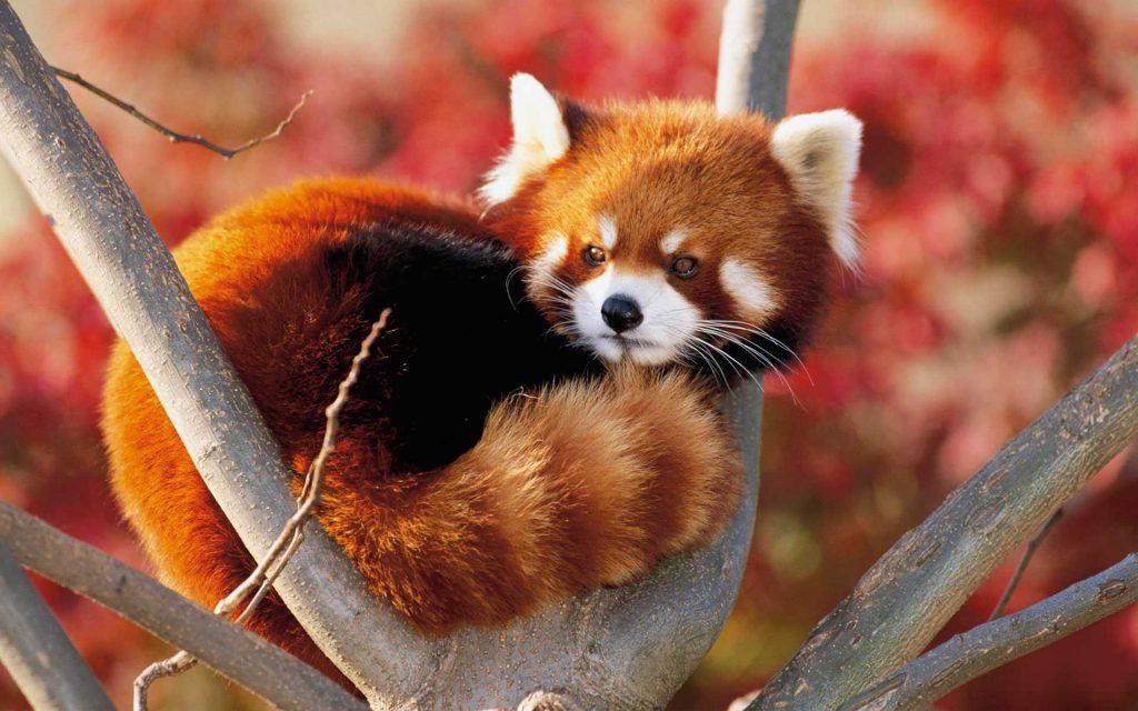 13_krasnaya-panda