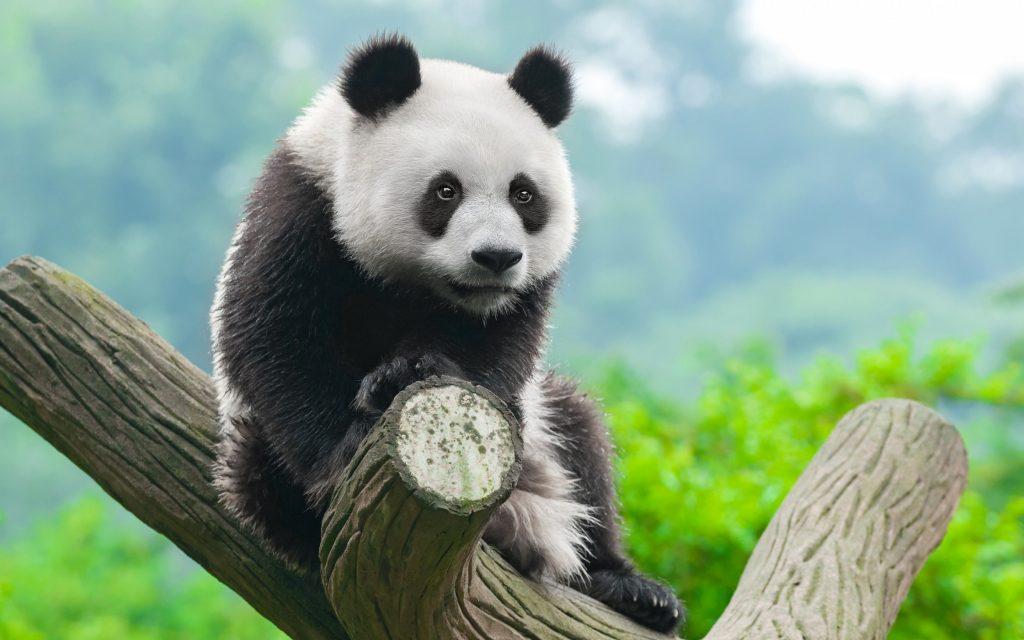 17_bolshaya-panda