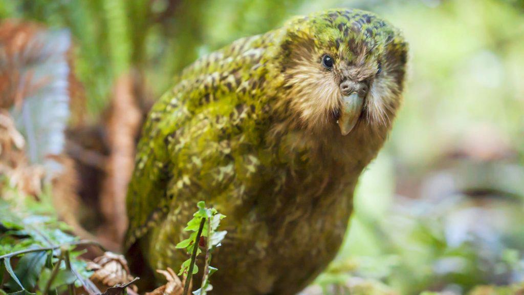5_kakapo
