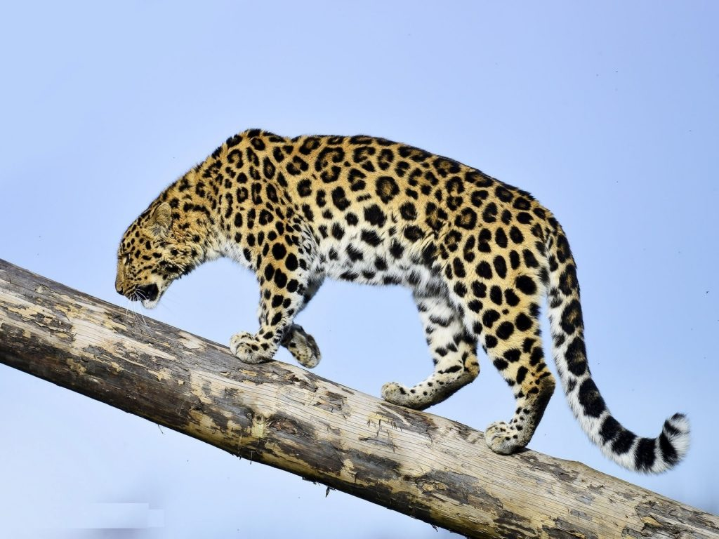 7_amurskij-leopard