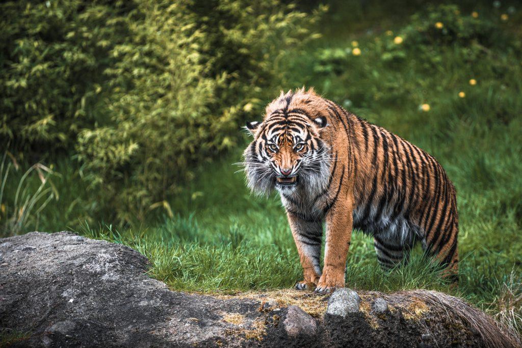 11_amurskij-tigr
