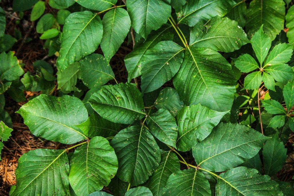 11_toksikodendron-ukorenyayushhijsya