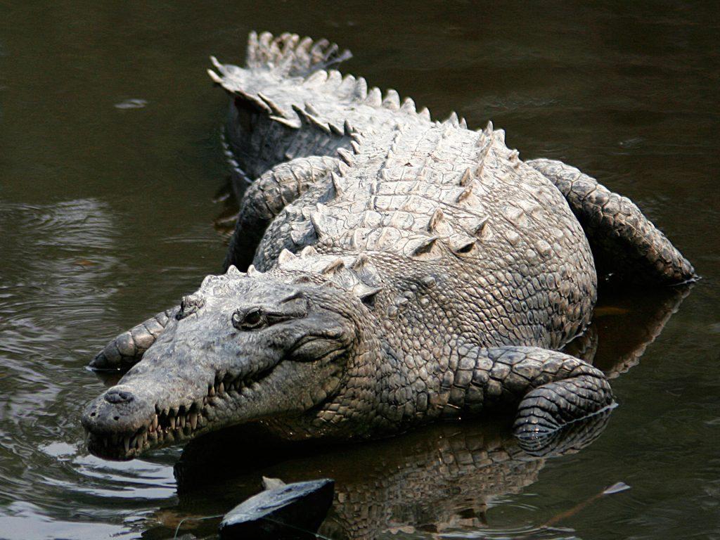 1_grebnistyj-krokodil