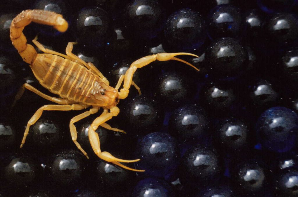 3_zhyoltyj-skorpion