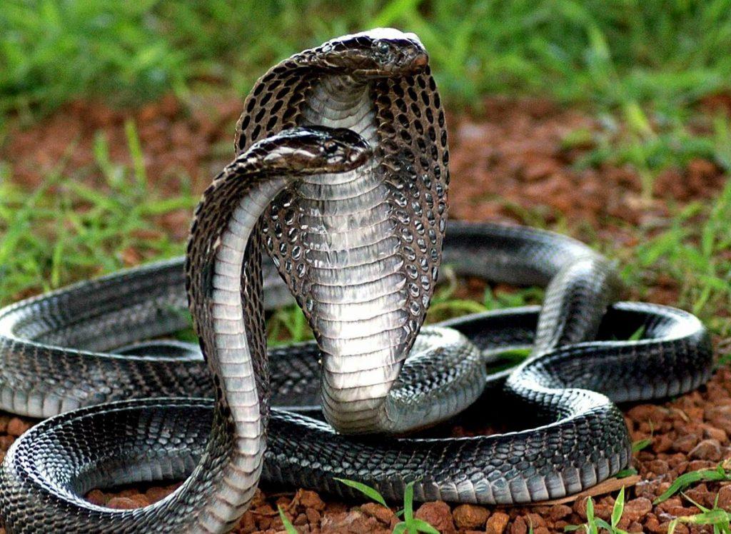 8_korolevskaya-kobra